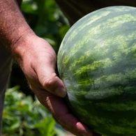 كيفية معرفة البطيخ الفاسد