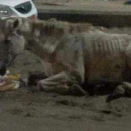 """البورسعيدية يكرمون حصانا بجزر وبطاطا وعربية: """"الدنيا جت عليه"""""""