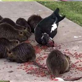 يمكن أن تنقل أمراضا وطفيليات للبشر.. فئران عملاقة تغزو حديقة أمريكية