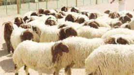 خروف لكل أسرة.. تكافل أبناء «بادية مطروح» يتجسد في رمضان بين العائلات