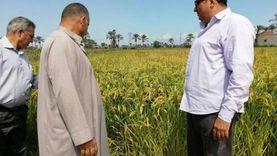 زراعة دمياط: حصاد 20 ألف فدان أرز ولا مشكلات بموسم الحصاد
