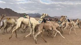 اليوم انطلاق مهرجان سباق الهجن بمدينة نويبع