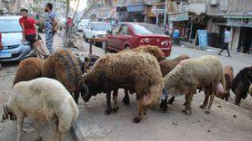 أسعار الأضاحي في مصر 2021.. الجاموسي بـ52 والعجول البقري بـ58 جنيه
