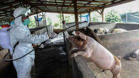 10 معلومات عن حمى الخنازير الأفريقية القاتلة بعد انتشارها في الصين