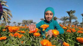 «الكانديولا» زينة حقول الفيوم: رزق للأطفال وعلاج للحروق والمعدة والقلب