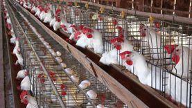 رئيس شعبة الدواجن: 3 جنيهات قيمة علاج الدجاجة خلال 37 يوما