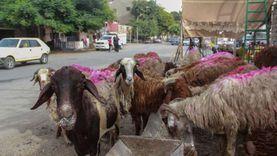 4 نصائح من «شعبة القصابين» لشراء خروف العيد