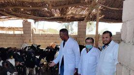 تحصين 600 رأس ماشية في قافلة بيطرية مجانية بجنوب سيناء