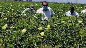 """وكيل """"زراعة دمياط"""" يطالب المزارعين بالاهتمام بمحصول القطن"""