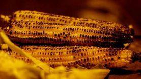 لهذا السبب عليك تناول الذرة المشوية.. تمد الجسم باحتياجاته من الذهب