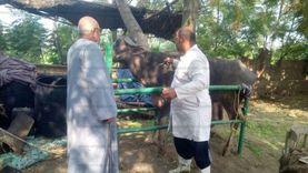 تحصين 89 ألف رأس ماشية ضد الحمى القلاعية والوادي المتصدع ببني سويف