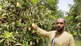 مزارعو فارس بأسوان يبدأون حصاد المانجو: التيمور والزبدة أبرز الأنواع