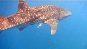 «القرش المسالم» يعاود الظهور بشواطئ الغردقة وسائحون يلتقطون صورا معه