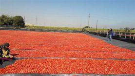 مدينة بالأقصر تنافس إيطاليا في إنتاج الطماطم المجففة