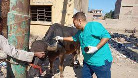 فحص وتحصين أكثر من 4 الاف رأس ماشية مجانا في 6 قوافل بيطرية بقنا