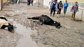 تعرف على إجراءات صرف تعويض «نفوق» من صندوق التأمين على الماشية