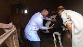 تحصين 21 ألف رأس ماشية ضد الحمى القلاعية والوادي المتصدع ببني سويف