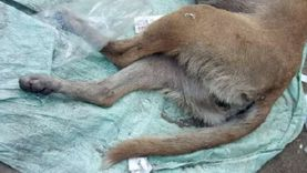 """""""حرمها من صغارها"""" ضبط عامل لقتله كلبة وتعذيبها بمنطقة المريوطية"""