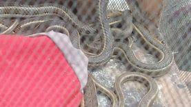 حملات على سوق الجمعة لمطاردة تجار الثعابين والتماسيح