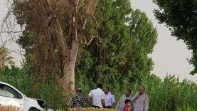سقوط شجرة ضخمة يتسبب في قطع طريق المراسي بالأقصر