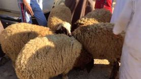 مواصفات أضاحي العيد في سوق الأغنام بمطروح