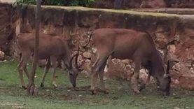 """حديقة حيوان الإسكندرية تستقبل حيوانات جديدة: """"إيلاند"""" و""""نو"""""""