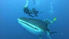 ظهور جديد للقرش الحوتي يرافقه سرب دلافين بشواطئ الغردقة