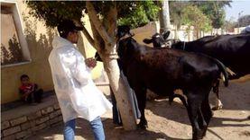 تحصين نصف مليون رأس ماشية ضد الحمى القلاعية والوادي المتصدع في 3 أيام