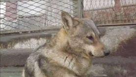 جراحة عاجلة في بيطري بنها تنقذ حياة الكلب «ماكس» بعد التوصية بإعدامه