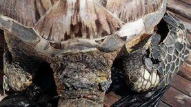 العثور على سلحفاة مهددة بالانقراض في الغردقة: «نافقة ومهشمة الرأس»