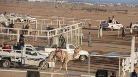 1500 متسابق يشاركون في مهرجانات رياضة الهجن بجنوب سيناء