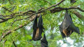 اكتشاف أنواع جديد من كورونا في الخفافيش.. كيف تنشأ داخل الحيوان نفسه؟