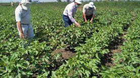 الزراعة: بروتوكول تعاون بين معهد القطن وشركة سيكم لإنتاج تقاوي القطن