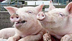 عملية زراعة كلى خنزير لامرأة تثير الجدل.. وأطباء: مشتقاته تدخل بالدواء