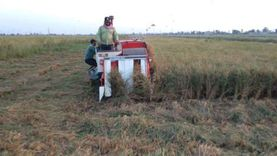 """جهود جامعة دمياط لتحسين محصول الأرز بمركز أبحاث """"أبوجريدة"""""""