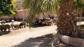 «الخرفان» وقِّعت «الجيران في بعض» بالشرقية: «مين اللي أكل الزرع»