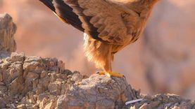 بالصور.. رصد طيور نادرة بمحمية سانت كاترين: عقاب السعفاء والنسر الأسمر