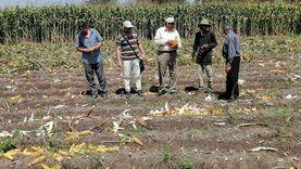 حصاد 234 ألف فدان ذرة شامية بالمنوفية
