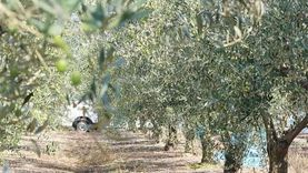 تقديم 50 ألف شتلة أشجار زيتون لمزارعي مطروح بالمجان