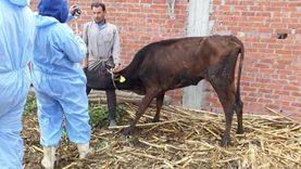 تحصين 39 الف رأس ماشية ضد الجلد العقدي وجدري الضأن ببني سويف