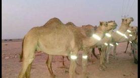 مطالب بتركيب أطواق فسفورية للجمال لمنع حوادث الطرق بجنوب سيناء