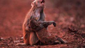 رئيس البلينا: لم نتلقَ أي بلاغات بشأن صور تجول القرود