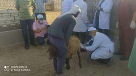 بيطري جنوب سيناء: إجراء 87 عملية تلقيح صناعي للماعز والأغنام