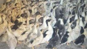 توزيع 41 ألف و700 طائر بمشروع تربية البط في البحيرة