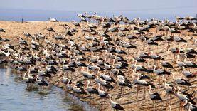 """محميات جنوب سيناء تراقب مسارات هجرة الطيور """"الحوامة"""" في الربيع"""