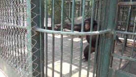 شمبانزي يعقم يده بالماء والصابون لمواجهة فيروس كورونا