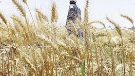 الزراعة: حصاد 2 مليون قمح حتى الآن.. واعتدال الشتاء سبب الزيادة
