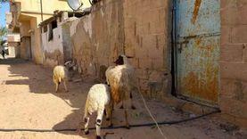 عمر «حلاق الأغنام بالشيخ زويد»: 20 جنيه على الرأس والحجز مسبق