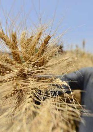 فيتشر عن القمح