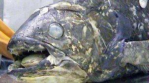 اكتشاف أسماك عملاقة حية من عصر الديناصورات.. عمرها 100 عام